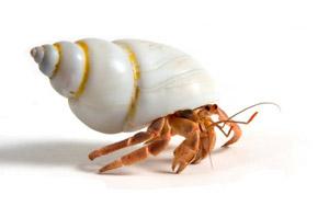 hermit-crab1