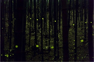 Dance-in-Bamboo-Grove-Golden-Firefly-Yume-Cyan